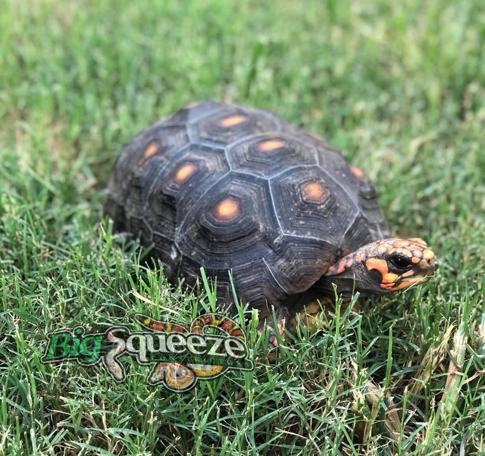 Texas Snake Breeder | Big Squeeze Constrictors