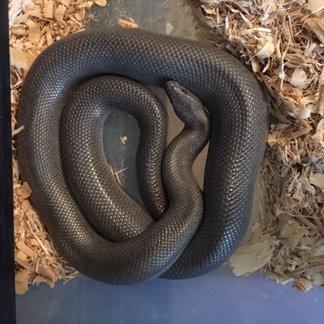 Available Rosy Boas Big Squeeze Constrictors